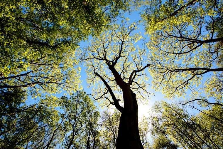 Ash tree's