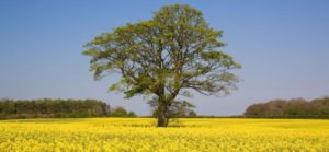 Ash tree in a yellow field