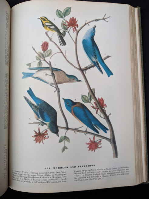 warbler and bluebirds in a 1937 First Edition copy of The Birds of America by John James Audubon