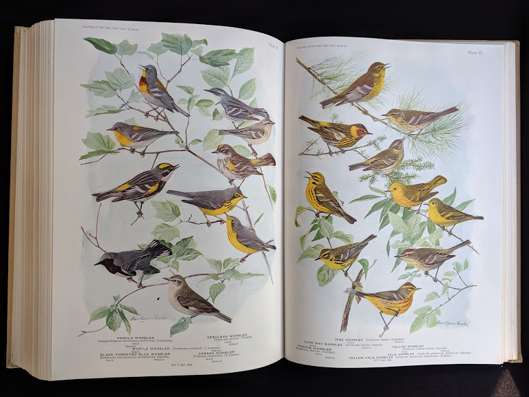 illustrations of Warblers in a 1936 copy of BIRDS OF AMERICA with 106 Color Plates published by Doubleday & Company -