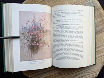 Illustration of Purple Gerardia - Gerardia Purpurea - 1939 Wild Flowers of the Northern States and Canada by Arthur Craig Quick - First Edition