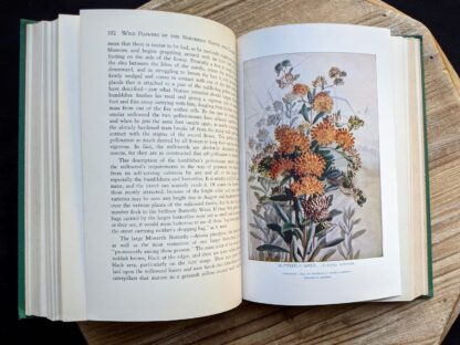 illustration of Butterfly Weed - Asclepias Turberosa - 1939 Wild Flowers of the Northern States and Canada by Arthur Craig Quick - First Edition