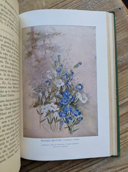 illustration of Fringed Gentian - Gentiana Crinita -1939 Wild Flowers of the Northern States and Canada by Arthur Craig Quick - First Edition